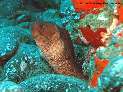 brown_moray_eel.jpg