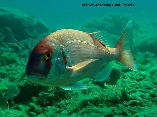 dentex_fish.jpg