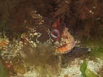 Tompot Blenny @ Port Quin shore dive