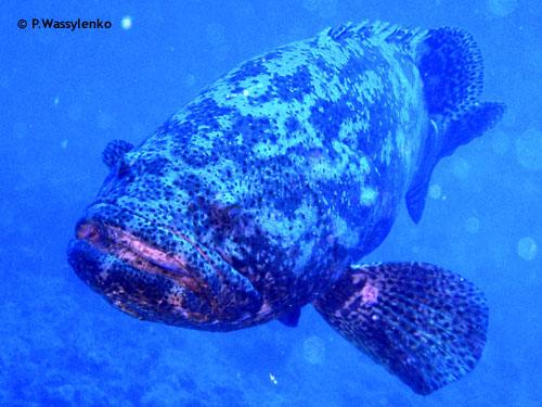jewfish_goliath_grouper_cayman_salvager.jpg