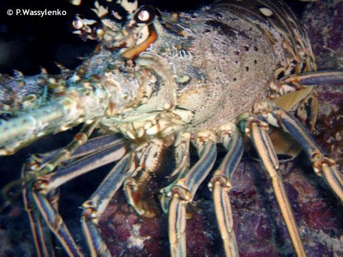 rock_key_night_dive_lobster.jpg