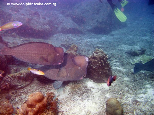 lang_bay_bumbhead_parrotfish.jpg