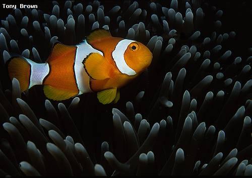 clownfish_gizo_reefs.jpg