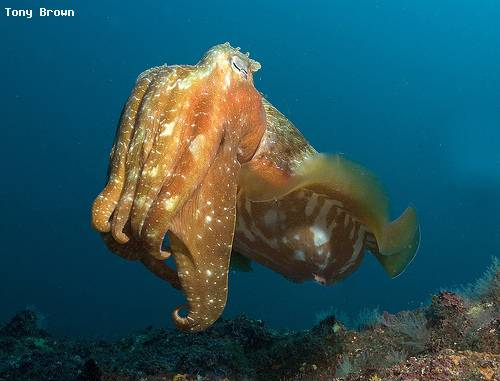 giant_cuttlefish_jervis_nsw.jpg