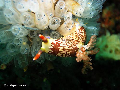 nudibranch_nunez_shoal.jpg