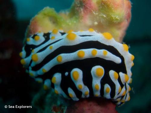 varicose_phyllidia_seaslug_nudibranch.jpg