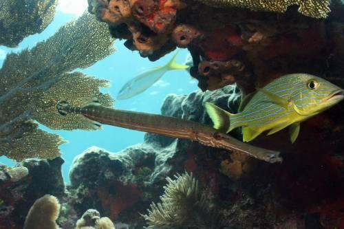 bluestriped_trumpetfish_yellowtailsnapper_.jpg