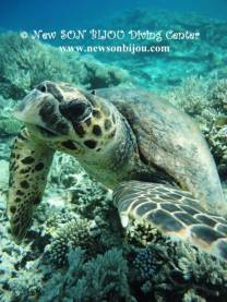 photo taken by www.newsonbijou.comrThis curious turtle was diving with us the whole dive, it seems she/he feel in love with one of our divers, cute :)