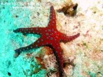 photo taken by www.newsonbijou.comrStarfish are amazing creatures, because has incredible regenerative capacity to re-form arms and reproduces asexually, dividing its body into two pieces, each of which regenerates the missing part.