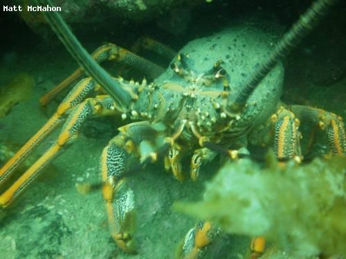 lobster_closeup.jpg