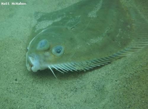 sand_flounder_abel_tasman.jpg