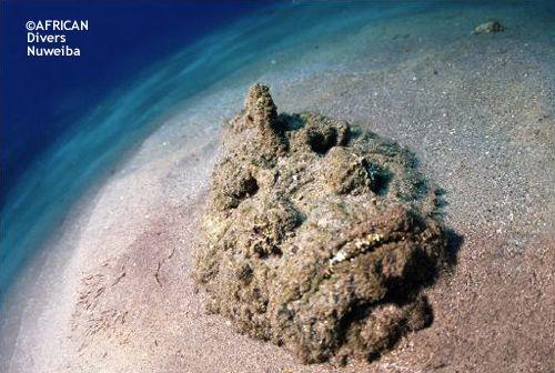 el_hibeq_stonefish.jpg