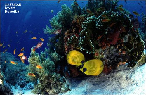 ras_shaitan_butterfly_fish.jpg