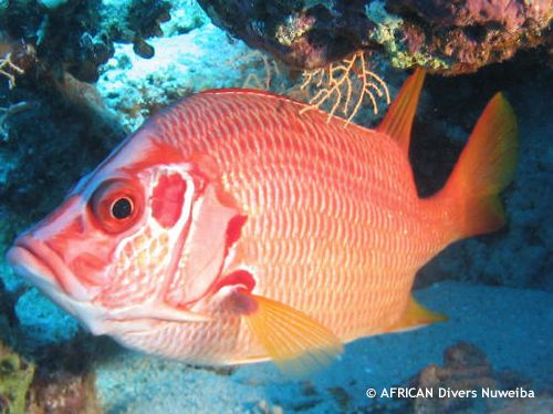 shaab_elaria_red_fish.jpg