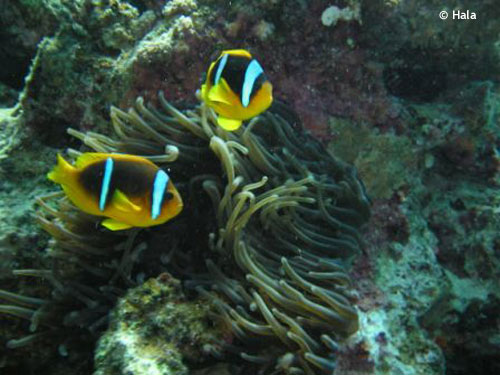 clown_fish_daniela_house_reef.jpg