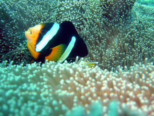 koh_mak_underwater_fish08.jpg
