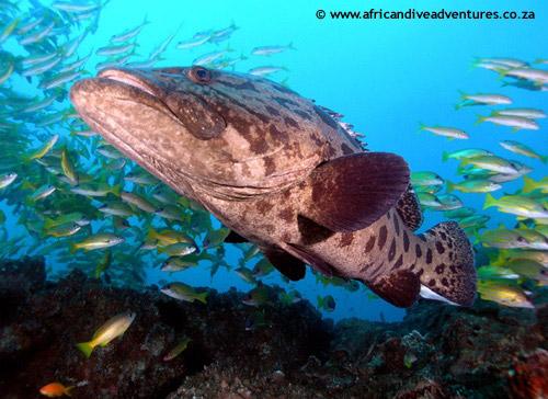 grouper_cod.jpg