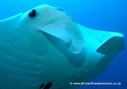 manta_rays_eyes_closeup.jpg