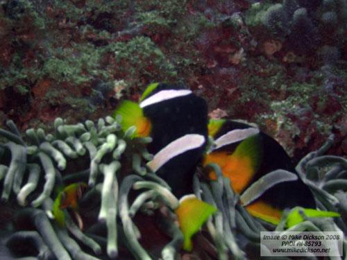 sebae_anemonefish.jpg