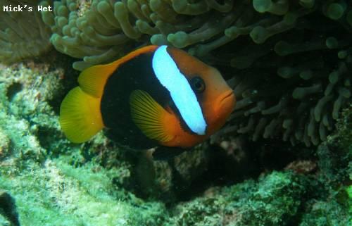 black_anemone_fish_heron_island.jpg