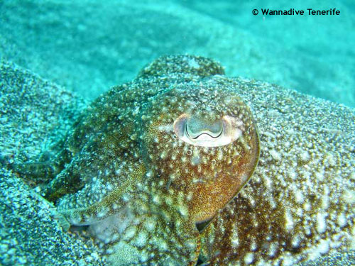 cuttle_fish_eye.jpg