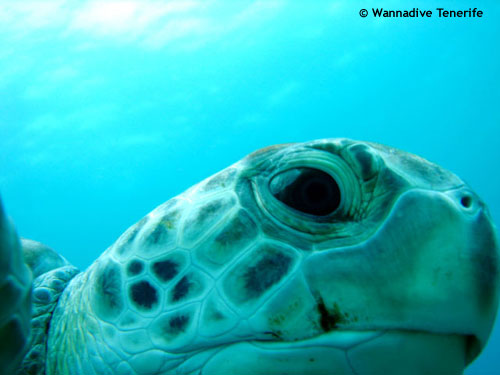 green_turtle_from_near.jpg