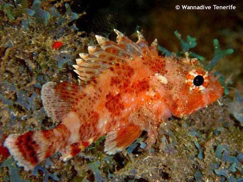 marazul_scorpion_fish.jpg