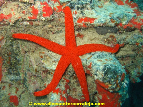 small_red_seastar.jpg