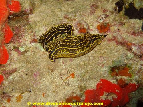 yellow_brown_nudibranches.jpg