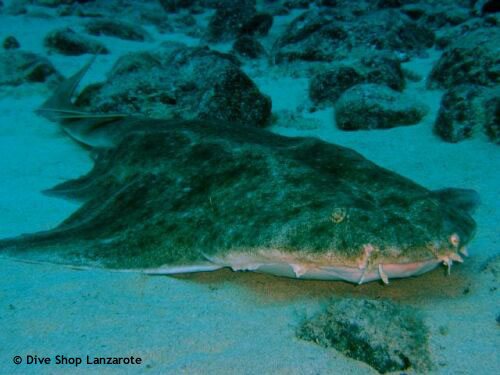 angel_shark_resting_in_sand.jpg