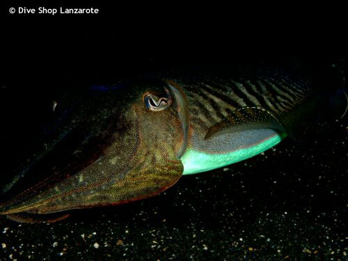 cuttlefish_at_night.jpg