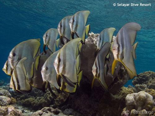 bannerfish_selayar.jpg