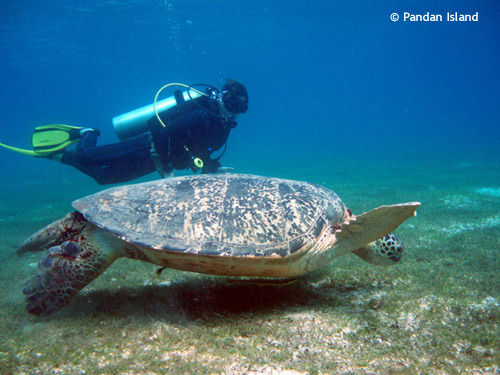 huge_turtle_pandan_island.jpg