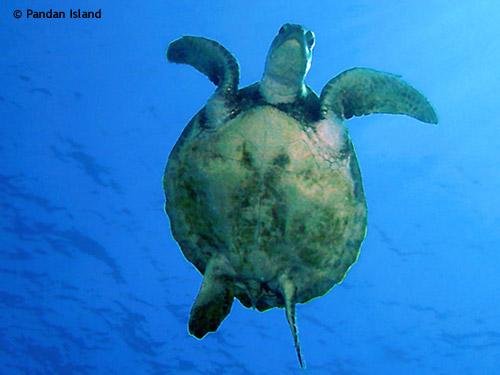 turtle_above_diver.jpg