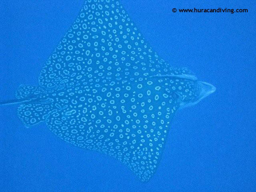graceful_spotted_eagle_ray.jpg