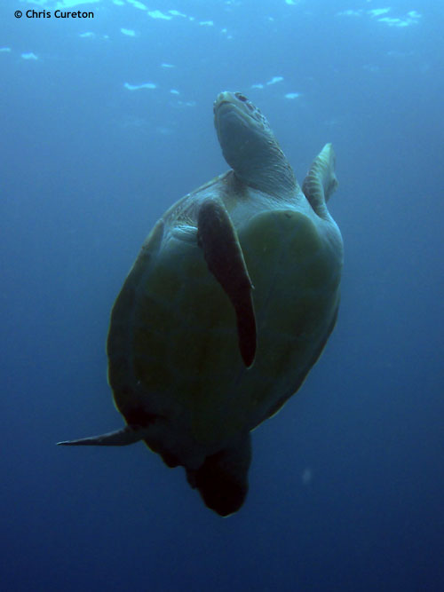 turtle_reaching_for_air.jpg
