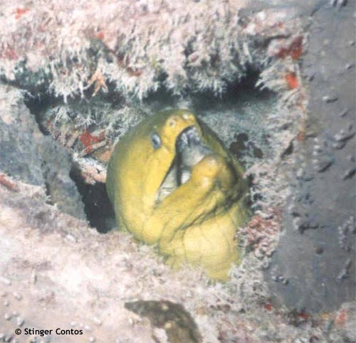 moray_inside_cayman_wreck.jpg