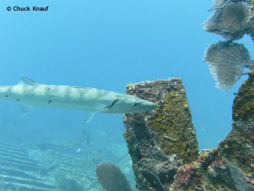 barracuda_hunting_benwood_wreck.jpg