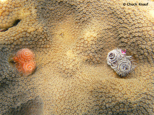 orange_christmas_tree_worm.jpg