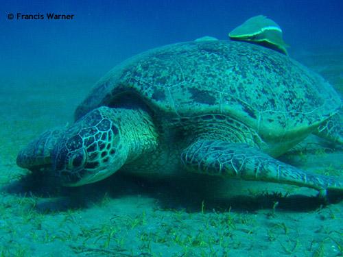 big_turtle_marsa.jpg