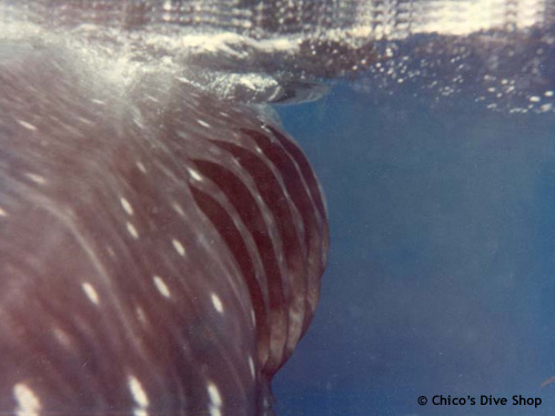domino_whale_shark_chimo.jpg