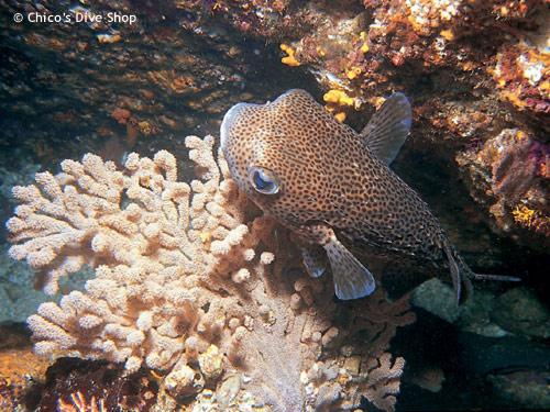 puffer_fish_los_arcos.jpg