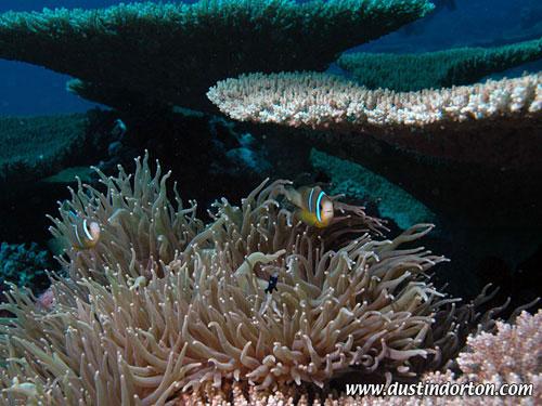 arno_atoll_anemones.jpg
