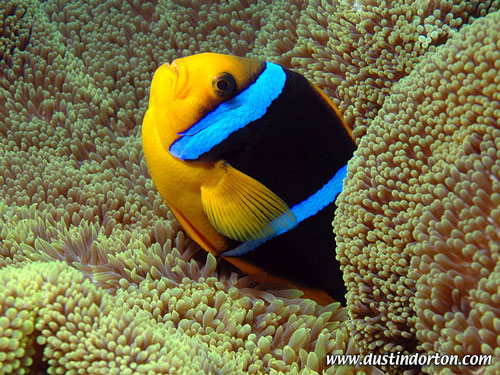clown_fish_arno_atoll.jpg