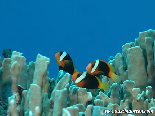 ocean_family_clown_fish.jpg