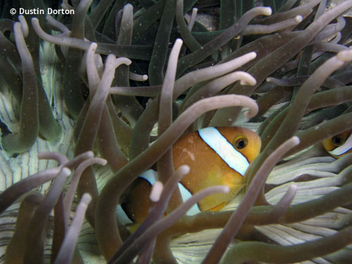 tricintus_clown_fish_majuro_night.jpg