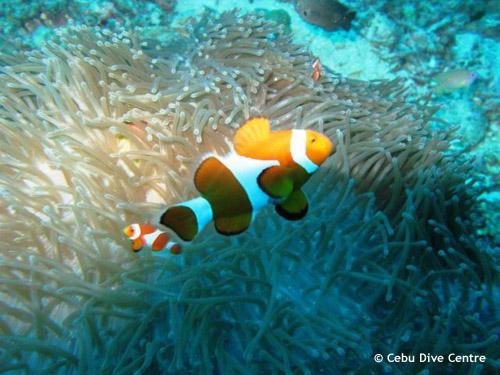 juvenile_clownfish_anemones_cebu.jpg