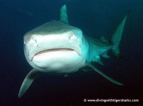 front_nose_tiger_shark.jpg
