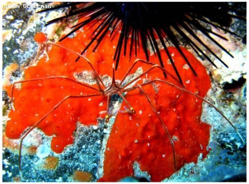 laa_spindelkrabba_stenorhynchus_lanceolatus.jpg