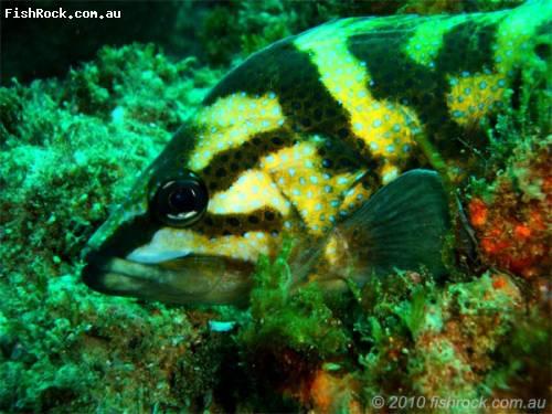 fish_black_yellow_blue_spot.jpg